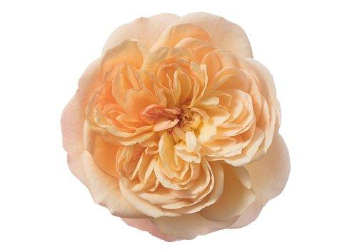 Rozen.nl Edible roses - Exotic