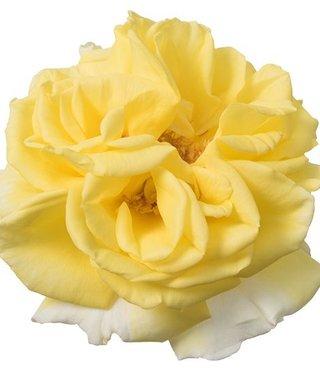Rozen.nl Eetbare rozen  Lemon