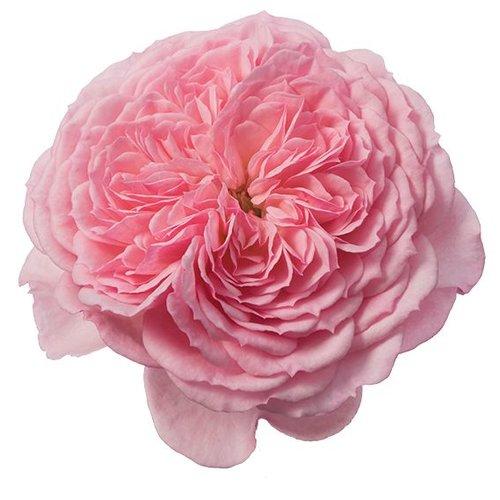 Rozen.nl Edible roses - Lemon