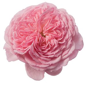 Rozen.nl Edible roses - Sweet