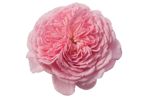 Rozen.nl Edible roses - Sweet