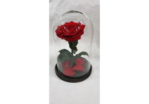 Rose under glass