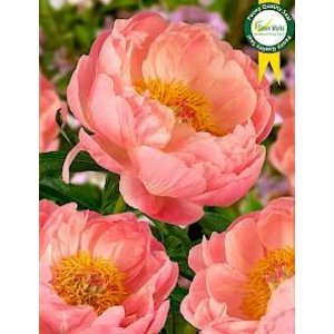 Peony roses - Mothersday