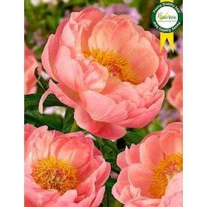 Pioene rosen - Muttertag