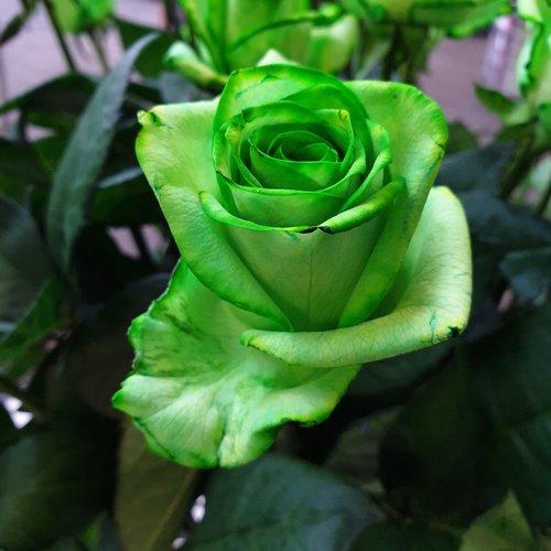 Rozen.nl Groene rozen