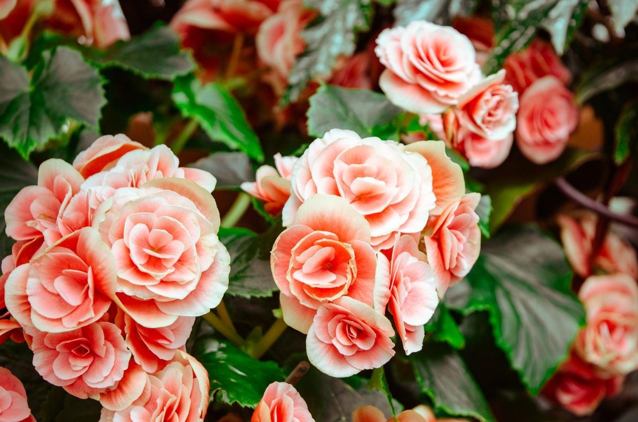 De mooiste rozen in de zomer!