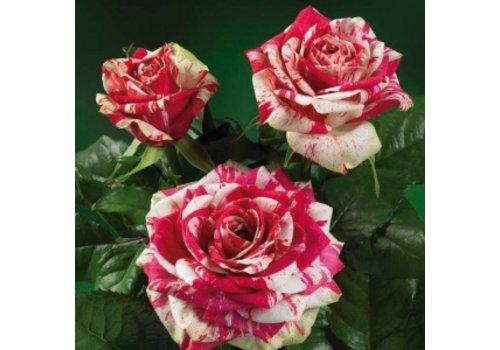 rozen.nl Roses Harlequin