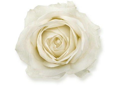 Rozen.nl Avalanche+ - White roses - 12 pieces