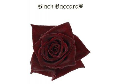 Rozen.nl Black Baccara - Rote Rosen - 24 stuck