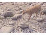Walking Puma (90 x 60 cm)