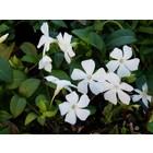 Witte kleine maagdenpalm, Vinca minor alba