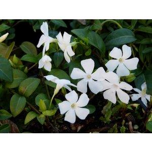 Vinca minor alba, witte kleine maagdenpalm
