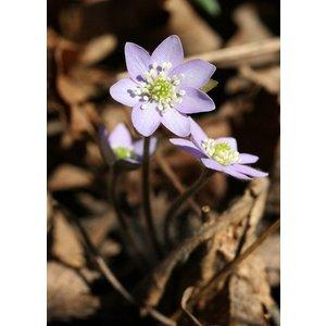 Hepatica nobilis acuta, leverbloempje, scherp lobbig.