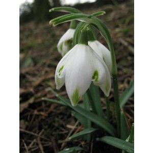 Galanthus 'Pusey Green Tips'