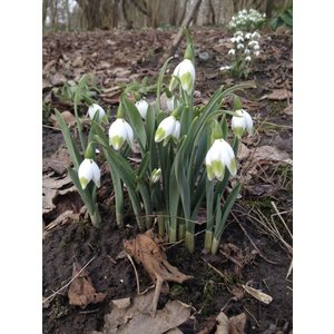 Galanthus elwesii 'Green Brush'
