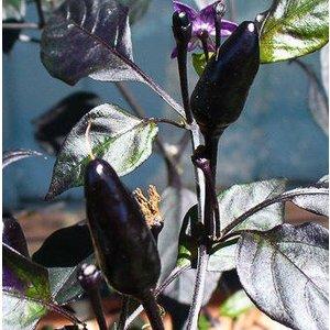 Capsicum annuum 'Royal Black'