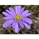 Oosterse anemoon, Anemone blanda 'Bleu Shades'