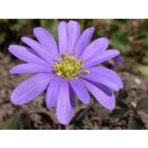 Anemone blanda 'Bleu Shades' (oosterse anemoon)
