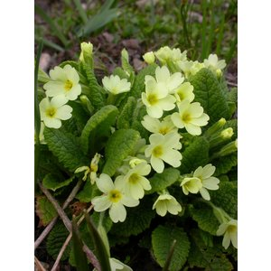Primula vulgaris, stengelloze sleutelbloem
