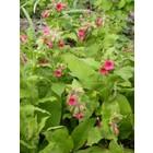 Roze longkruid, bladeren effen groen, Pulmonaria rubra