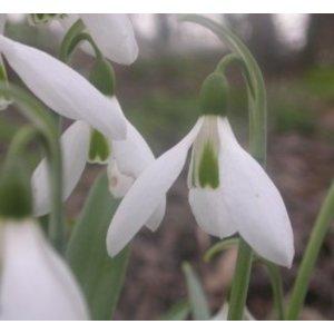 Galanthus elwesii var. elwesii 'J. Haydn'