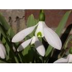 Galanthus elwesii variëteit monostictus 'G. Händel'