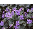 Labradorviooltje, Viola labradorica purpurea