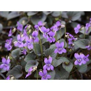 Viola labradorica purpurea, labradorviooltje