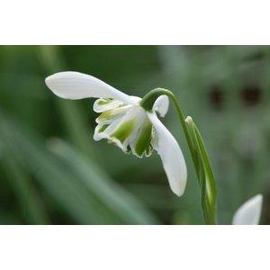 Galanthus 'Lavinia'. Eén van de Greatorex doubles.