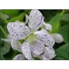 Gespikkeld viooltje, Viola sororia 'Freckles'