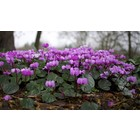 Rondbladige cyclaam, Cyclamen coum