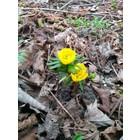 Fijngekraagde winteraconiet, Eranthis cilicica
