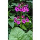 Japanse sleutelbloem, Primula japonica