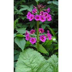 Primula japonica, Japanse sleutelbloem