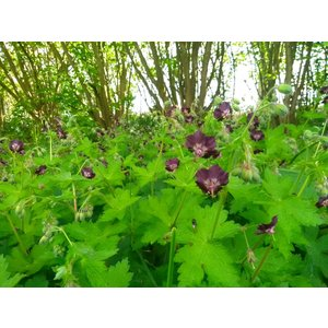 Geranium phaeum, donkere ooievaarsbek