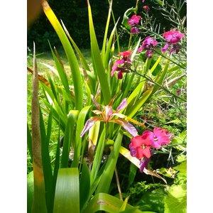 Iris foetidissima, stinkende iris