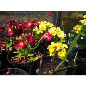 Primula polyanthus 'Barnhaven Harvest' - Rood