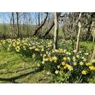 Narcissus Norway zaailingen