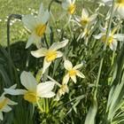 Narcissus Seagel