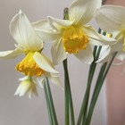 Narcissus Mysterie