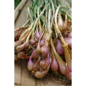 Allium fistulosum, utrechtse uitjes of Sint-Jansui, eetbaar