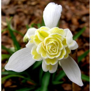 Galanthus 'Lady Elphinnstone'