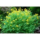 Gele Helmbloem, Corydalis lutea