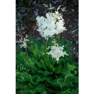 Filipendula vulgaris, knolspirea