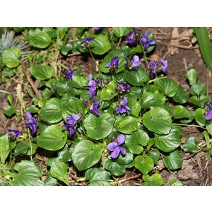Viola odorata, maarts viooltje