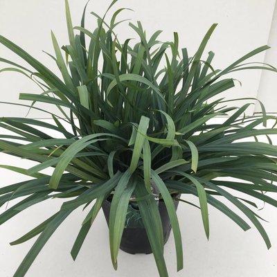 Carex Bunny Blue