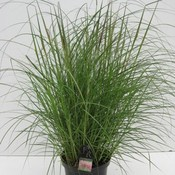 Miscanthus 'Red Chief'