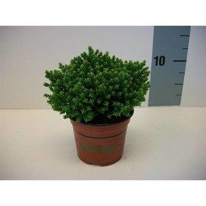 Hebe Emerald Green
