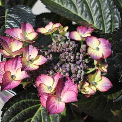 HORTENSIA BLACK DIAMONDS