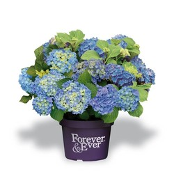 HORTENSIA FOREVER AND EVER